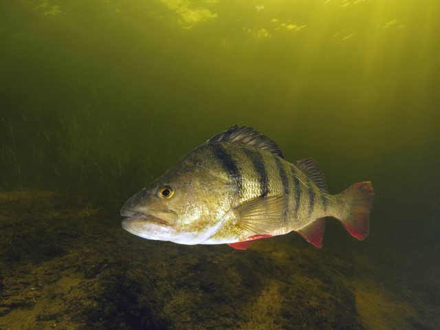 Underwater picture of a big perch