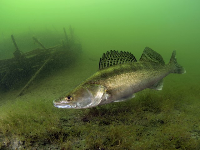 Underwater picture of a zander