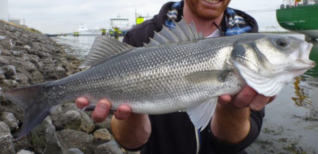 Bag limit for seabass in the last part of 2018!