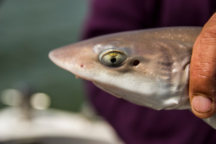 Characteristic smoothhounds head