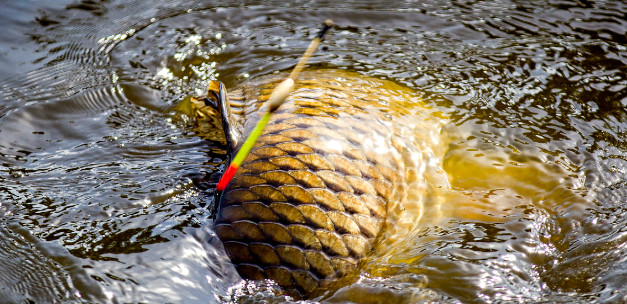 Come and stalk carp in the Netherlands!