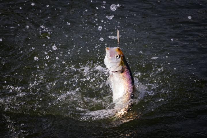 The twaite shad is a real sport fish