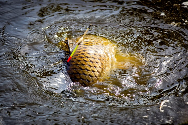 Carp caught using a float