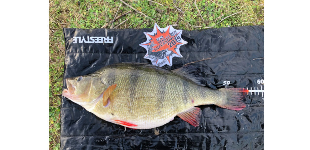New Dutch perch record: 56 cm!