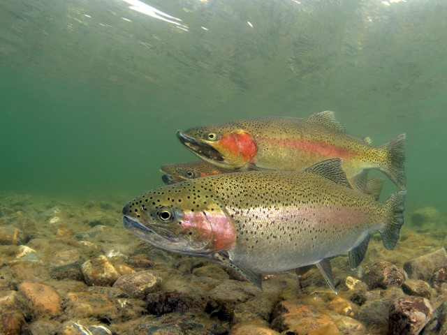 Some rainbow trouts in the Oostvoornse Meer